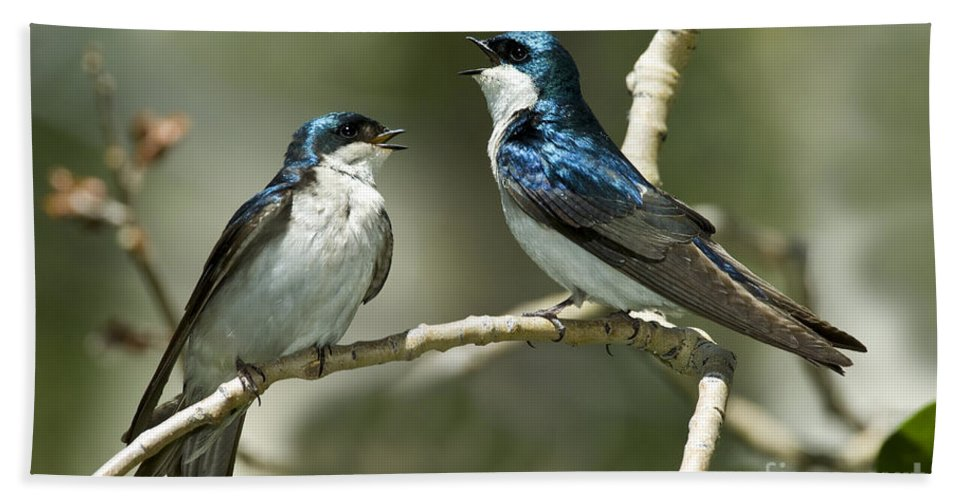 Tree Swallow Hand Towel featuring the photograph Tree Swallows Singing by Anthony Mercieca
