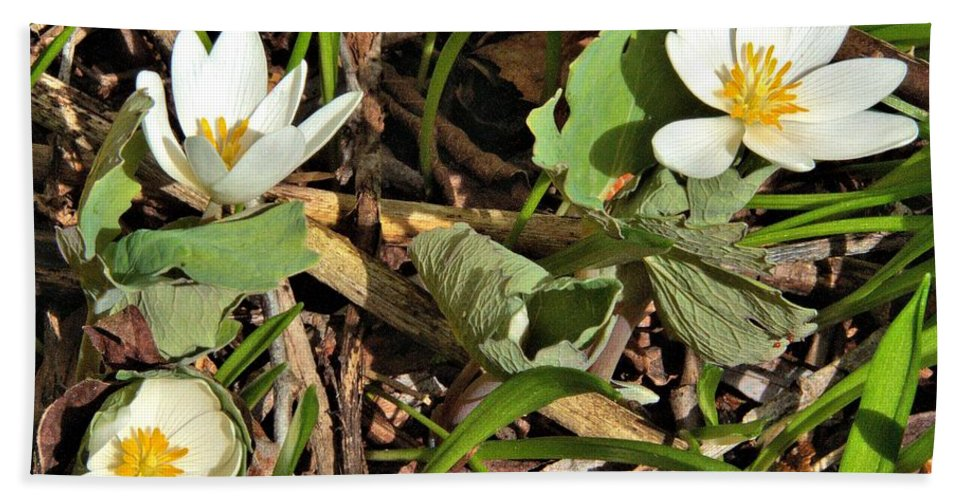 Flower Bath Sheet featuring the photograph Trio Of Bloodroot Flowers by Valerie Kirkwood