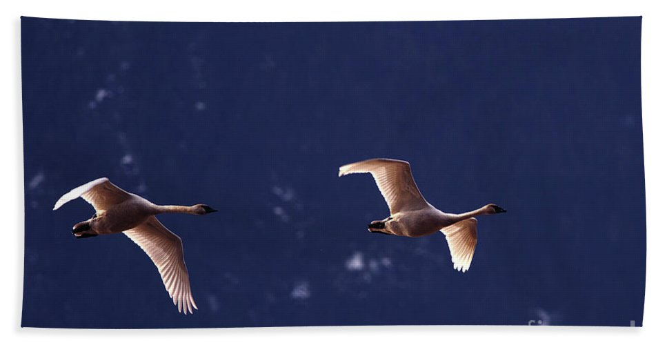 Trumpeter Swans Bath Sheet featuring the photograph Trumpeter Swans In-flight by Sharon Talson