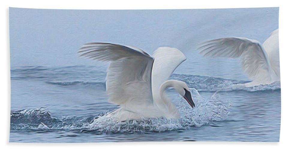 Swans Bath Sheet featuring the photograph Trumpeter Swans Touchdown by Patti Deters