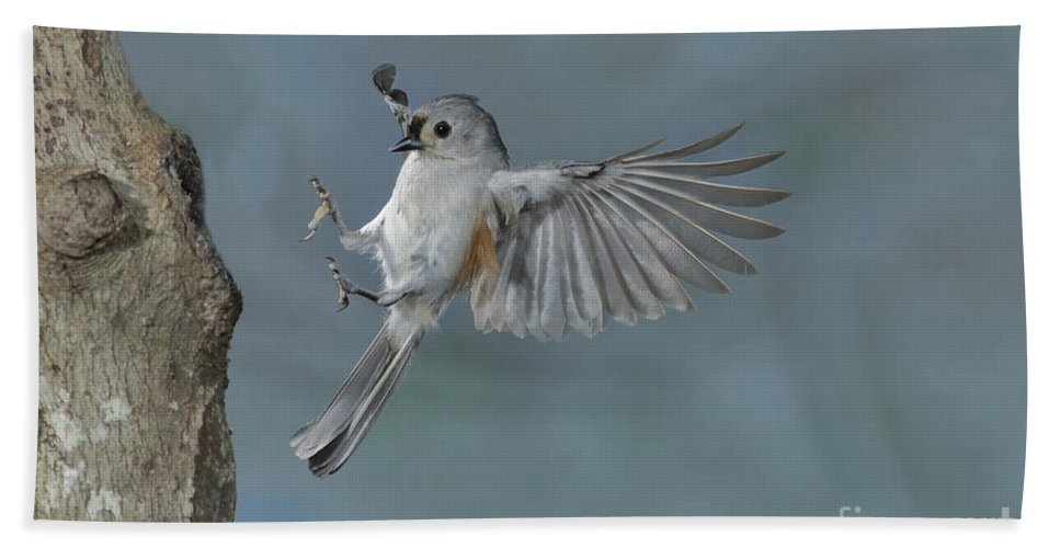 Tufted Titmouse Hand Towel featuring the photograph Tufted Titmouse by Anthony Mercieca