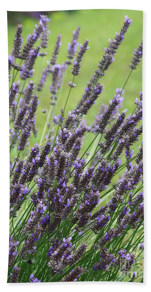 Lavender Hand Towel featuring the photograph Tuilieres Lavender by Carol Groenen