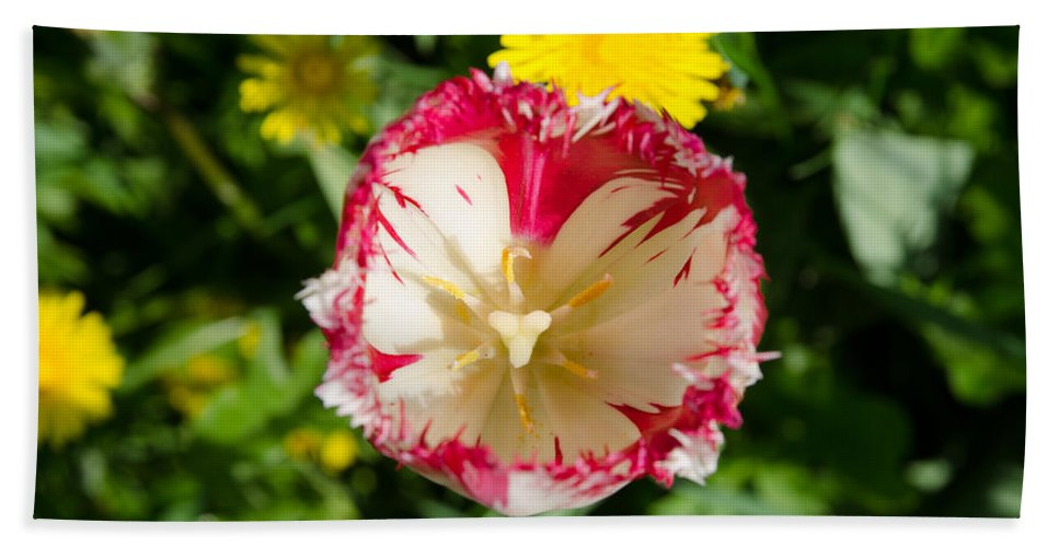 Backlit Bath Sheet featuring the photograph Tulip by Michael Goyberg