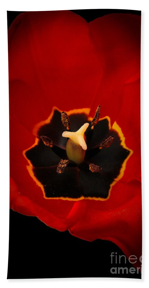 Bath Sheet featuring the photograph Tulip On Black by Mike Nellums