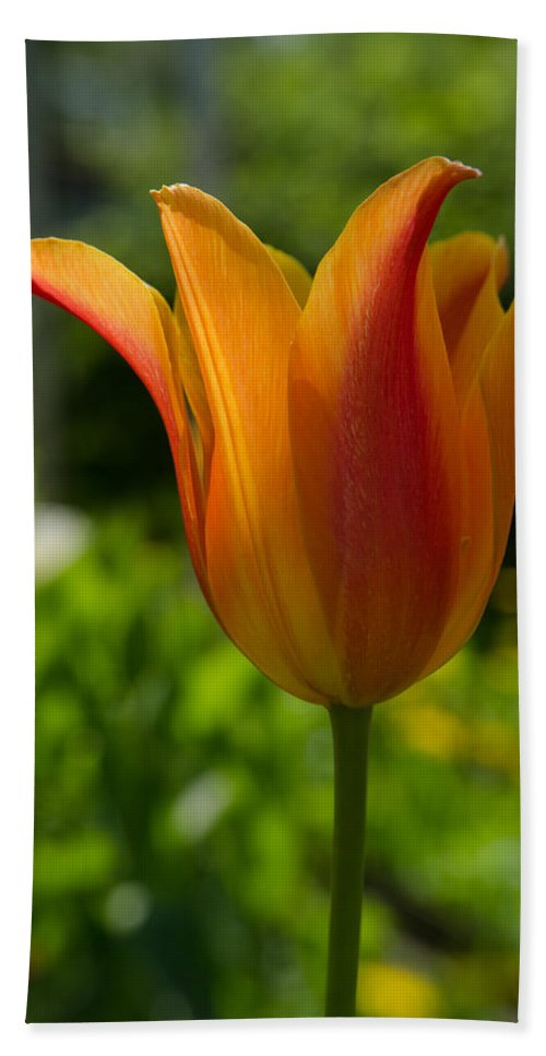 Beautiful Bath Sheet featuring the photograph Tulip On The Green Background by Michael Goyberg