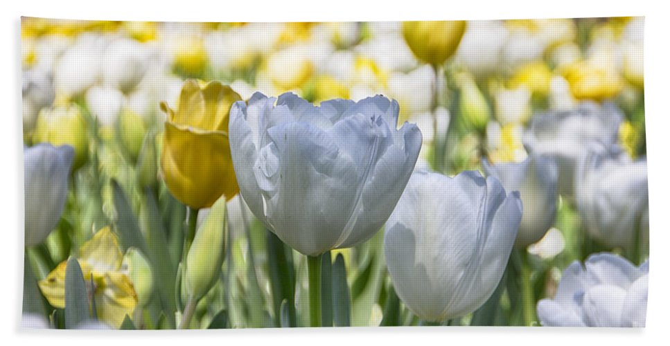 Tulips Hand Towel featuring the photograph Tulips At Dallas Arboretum V28 by Douglas Barnard