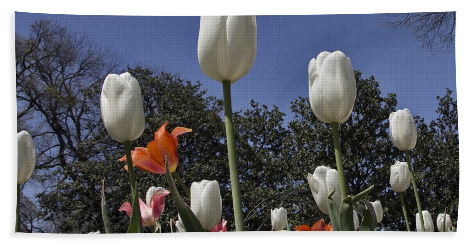 Tulips Hand Towel featuring the photograph Tulips At Dallas Arboretum V36 by Douglas Barnard