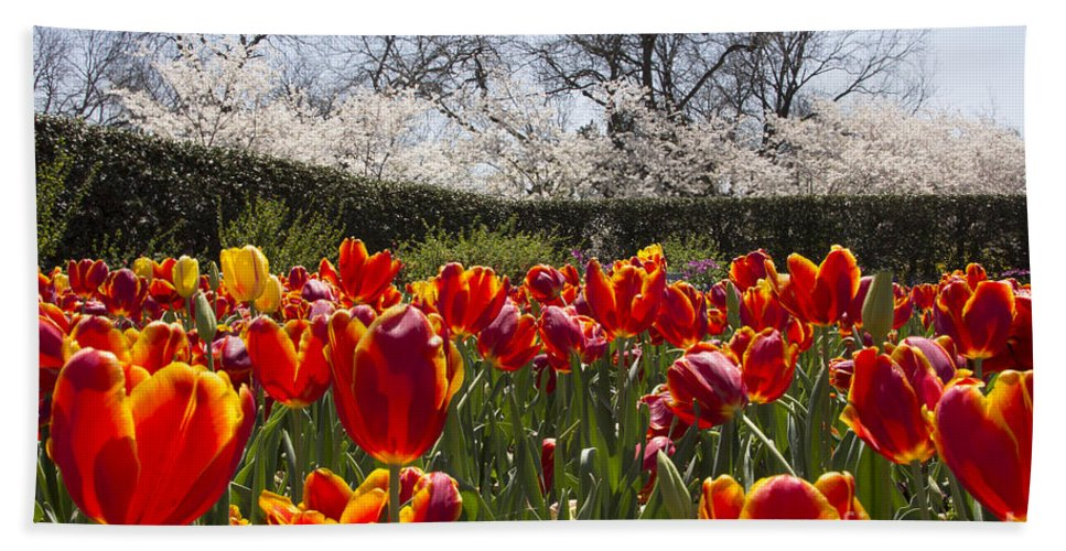Tulips Hand Towel featuring the photograph Tulips At Dallas Arboretum V39 by Douglas Barnard