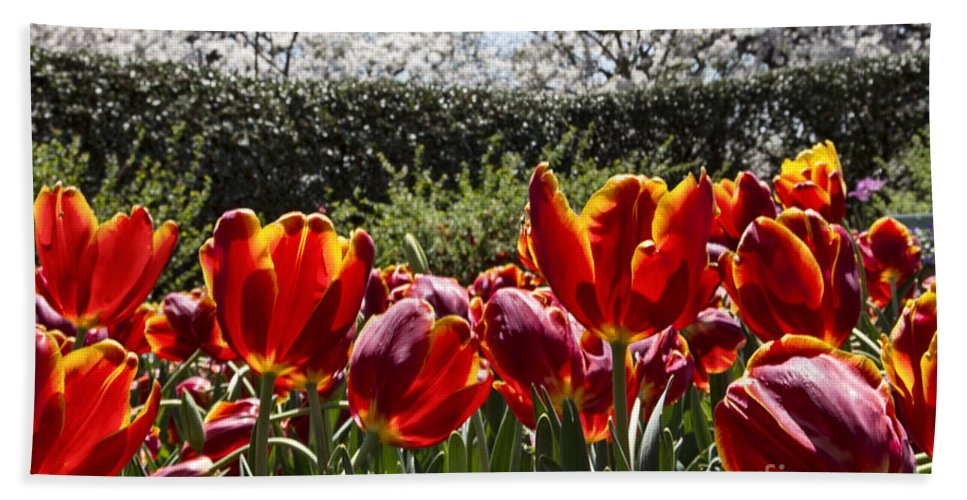 Tulips Hand Towel featuring the photograph Tulips At Dallas Arboretum V41 by Douglas Barnard