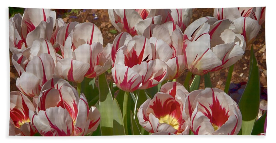 Tulips Hand Towel featuring the photograph Tulips At Dallas Arboretum V53 by Douglas Barnard