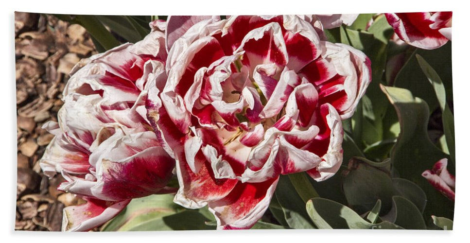 Tulips Hand Towel featuring the photograph Tulips At Dallas Arboretum V55 by Douglas Barnard