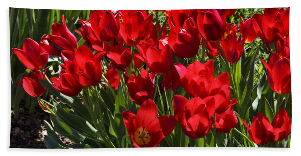 Tulips Hand Towel featuring the photograph Tulips At Dallas Arboretum V57 by Douglas Barnard