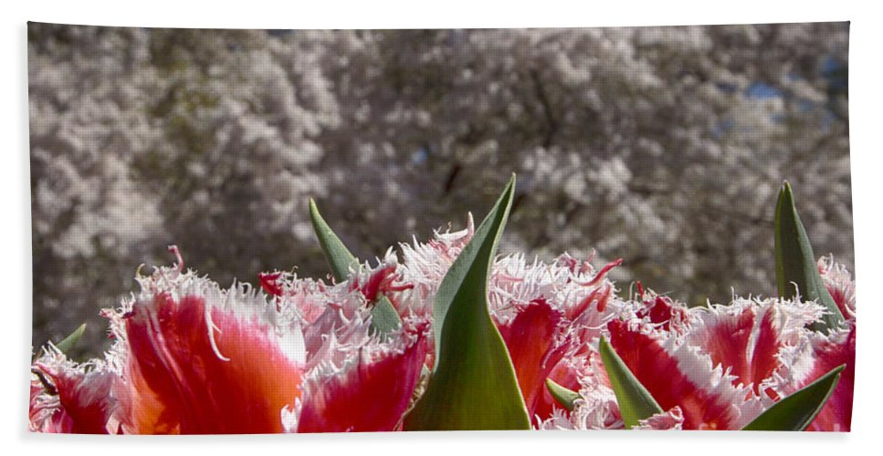 Tulips Hand Towel featuring the photograph Tulips At Dallas Arboretum V69 by Douglas Barnard