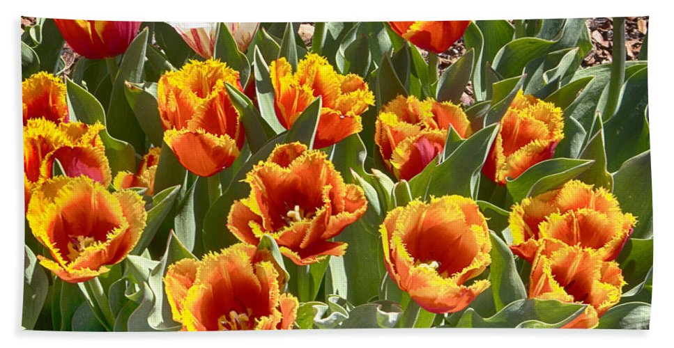 Tulips Hand Towel featuring the photograph Tulips At Dallas Arboretum V71 by Douglas Barnard