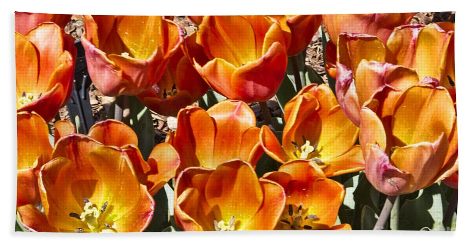 Tulips Hand Towel featuring the photograph Tulips At Dallas Arboretum V80 by Douglas Barnard