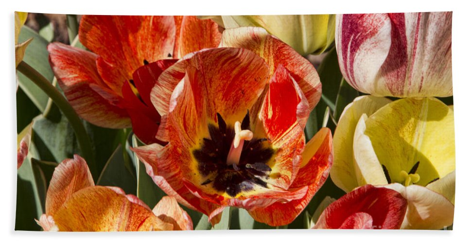 Tulips Hand Towel featuring the photograph Tulips At Dallas Arboretum V81 by Douglas Barnard