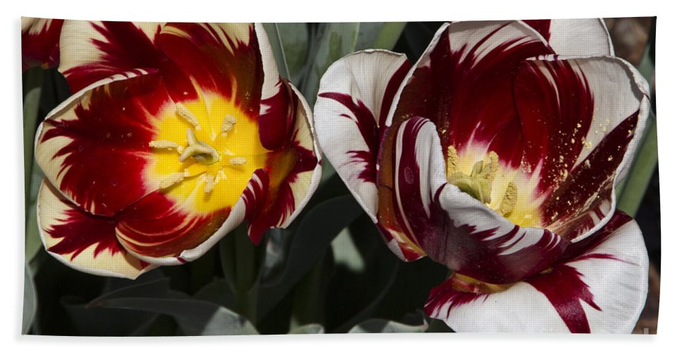 Tulips Hand Towel featuring the photograph Tulips At Dallas Arboretum V92 by Douglas Barnard