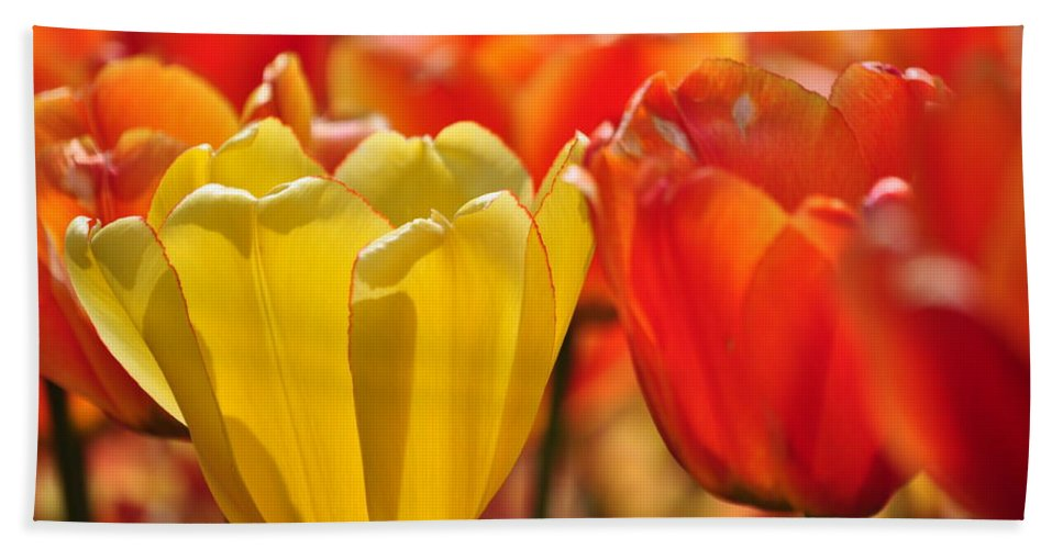 Tulip Bath Sheet featuring the photograph Tulips In The Midst by Thomas Shockey