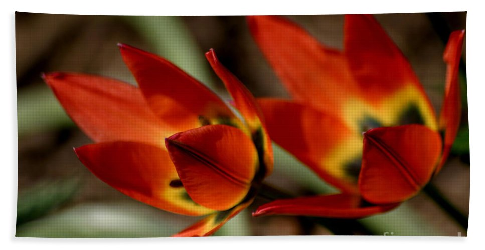 Tulips Bath Sheet featuring the photograph Tulips On Fire by Living Color Photography Lorraine Lynch