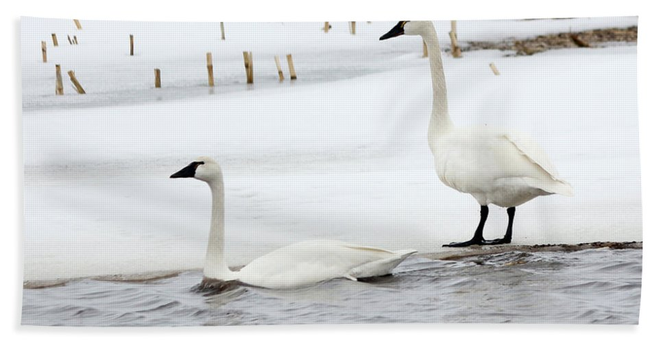 Swan Hand Towel featuring the photograph Tundra Swans by Lori Tordsen