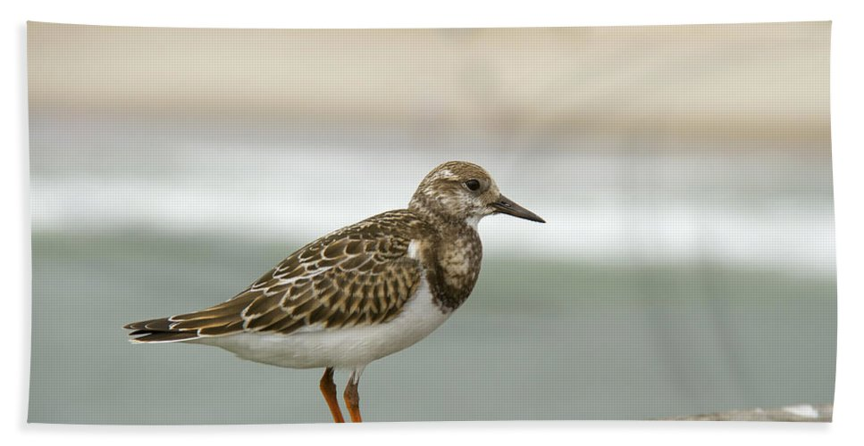 Shorebird Hand Towel featuring the photograph Turnstone by Debby Richards
