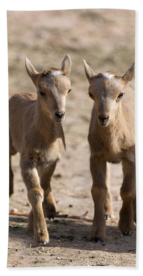 Aoudad Hand Towel featuring the photograph Two Aoudad Babies Playing by Gary Langley