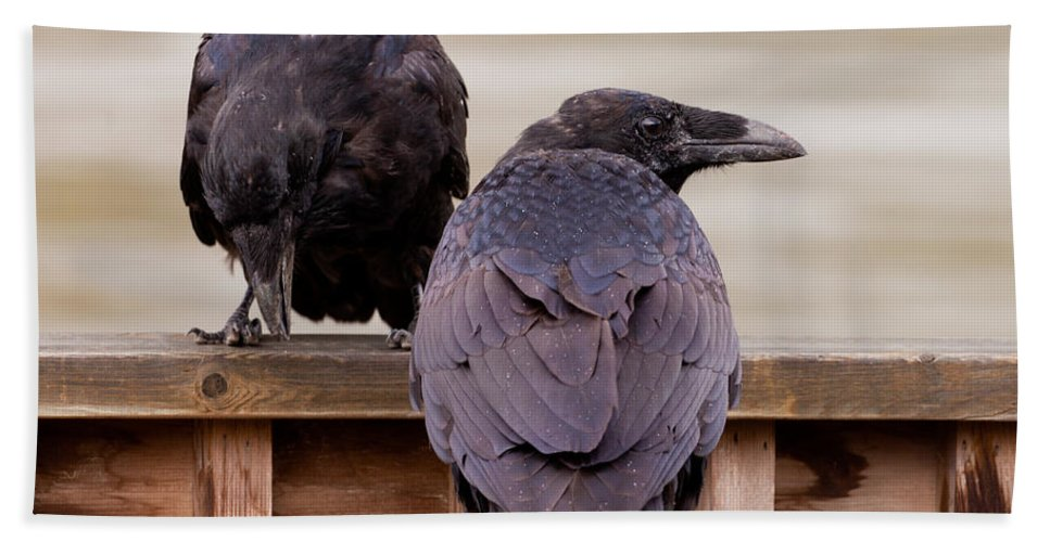 Animal Bath Sheet featuring the photograph Two Common Ravens Corvus Corax Interacting by Stephan Pietzko