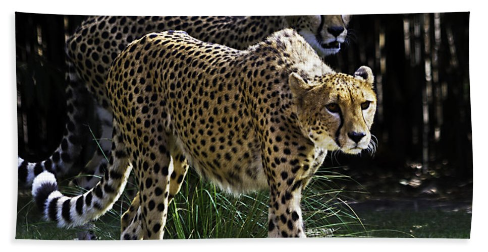 Tigers Hand Towel featuring the photograph Two Sisters Hunting by Ken Frischkorn