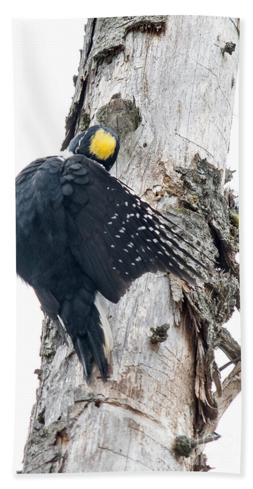 Black-backed Woodpecker Hand Towel featuring the photograph Under Cover Black-backed by Cheryl Baxter