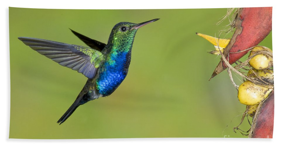 Animal Hand Towel featuring the photograph Violet-bellied Hummingbird by Anthony Mercieca