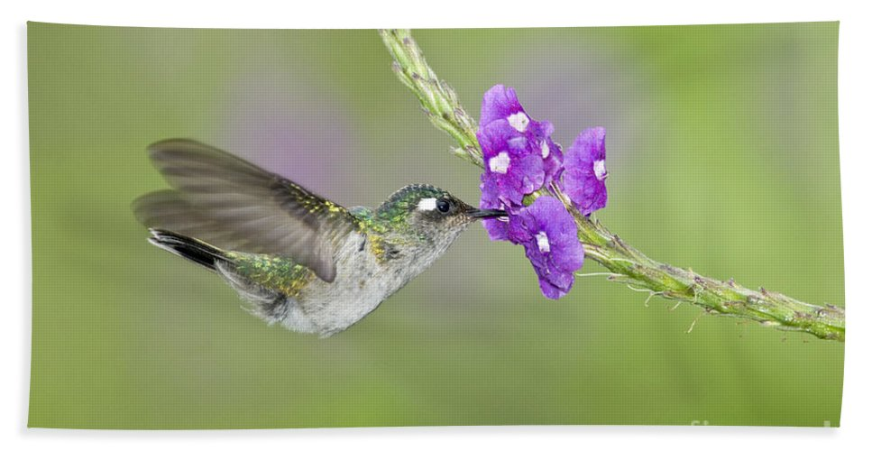 Animal Hand Towel featuring the photograph Violet-headed Hummingbird by Anthony Mercieca