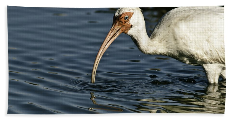 Animal Bath Sheet featuring the photograph Wading Ibis by Robert Frederick