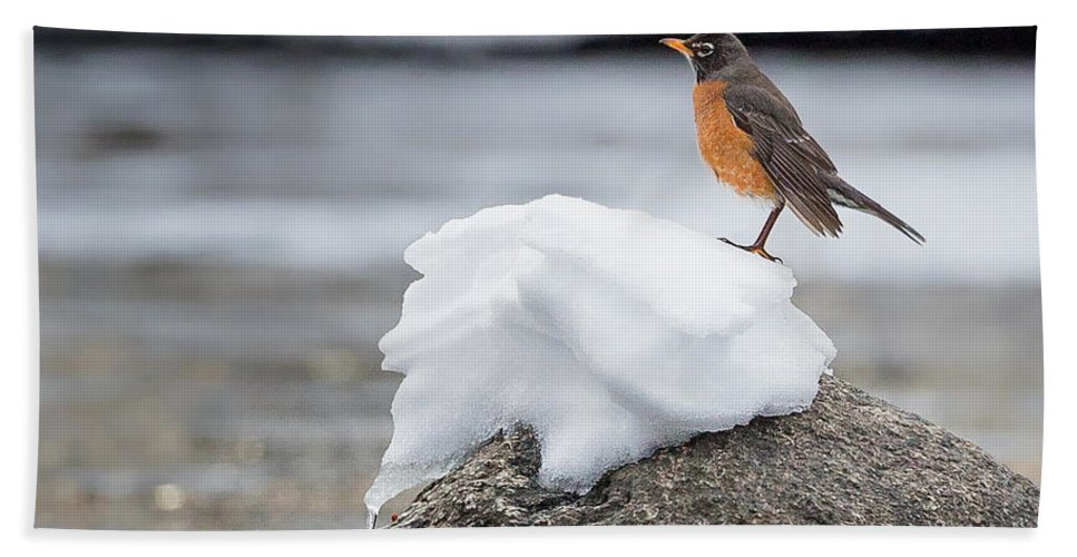 Robin Hand Towel featuring the photograph Waiting For Spring Square by Bill Wakeley