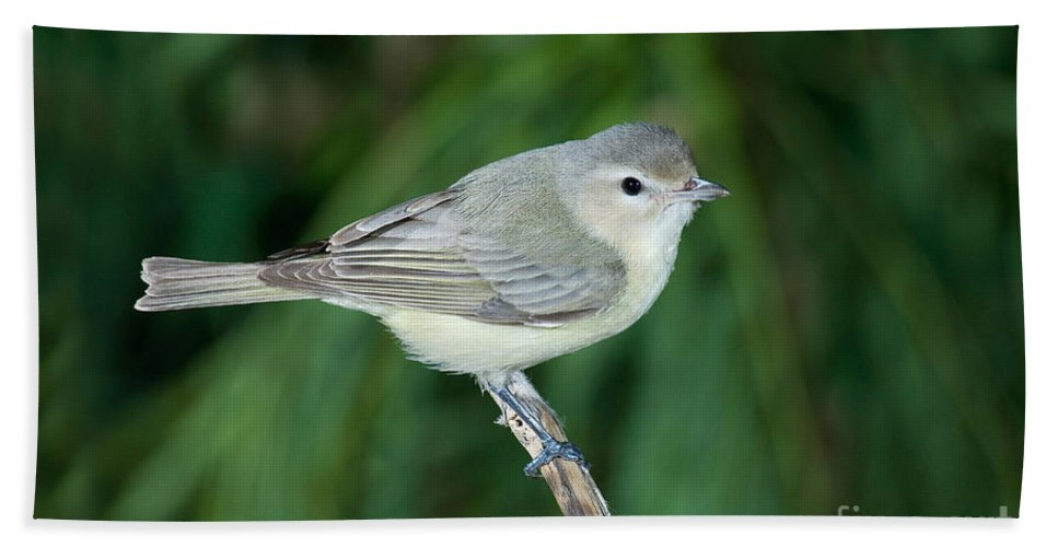 Fauna Hand Towel featuring the photograph Warbling Vireo by Anthony Mercieca