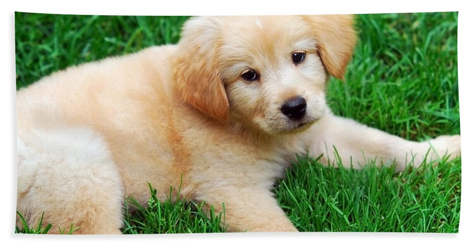Golden Retriever Puppy Bath Sheet featuring the photograph Warm Fuzzy Puppy by Christina Rollo
