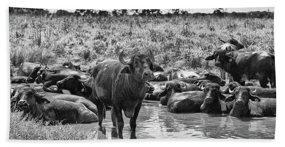 Water Buffalo Hand Towel featuring the photograph Water Buffaloes-black And White by Douglas Barnard