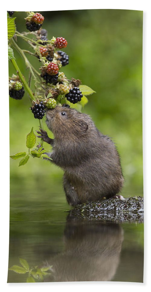 Nis Bath Towel featuring the photograph Water Vole Eating Blackberries Kent Uk by Penny Dixie