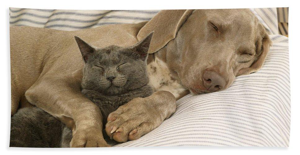 Weimaraner Bath Sheet featuring the photograph Weimaraner Asleep With Cat by John Daniels