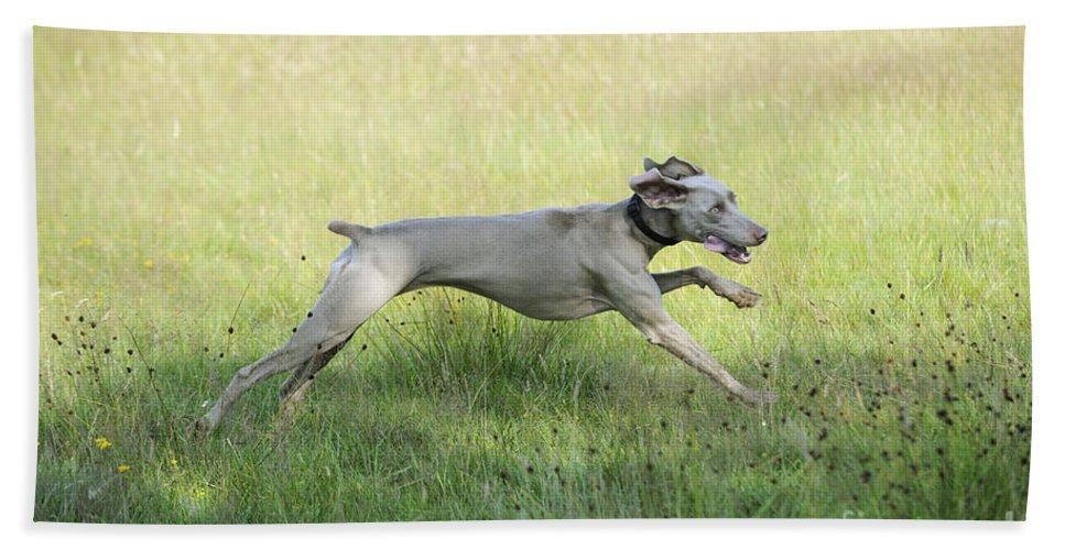 Weimaraner Bath Sheet featuring the photograph Weimaraner Dog Running by John Daniels