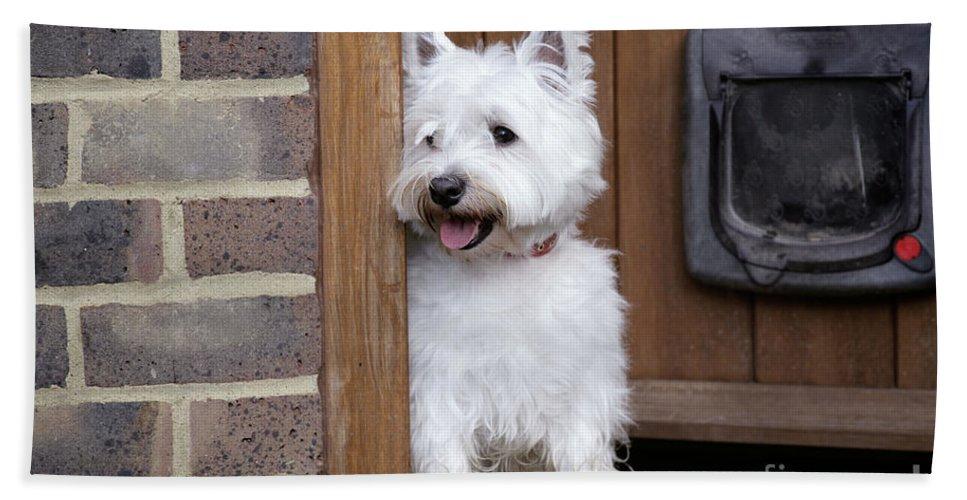 West Highland White Terrier Bath Sheet featuring the photograph West Highland White Terrier by John Daniels