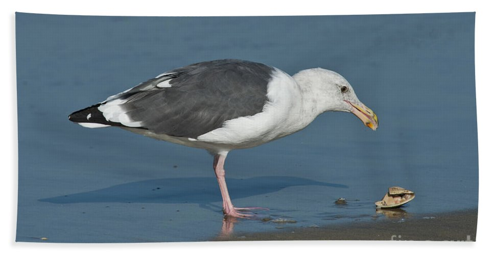 Western Gull Hand Towel featuring the photograph Western Gull Eating Clam by Anthony Mercieca