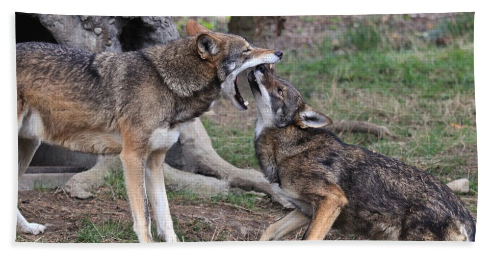 Wolves Hand Towel featuring the photograph What Nice Teeth You Have by Athena Mckinzie