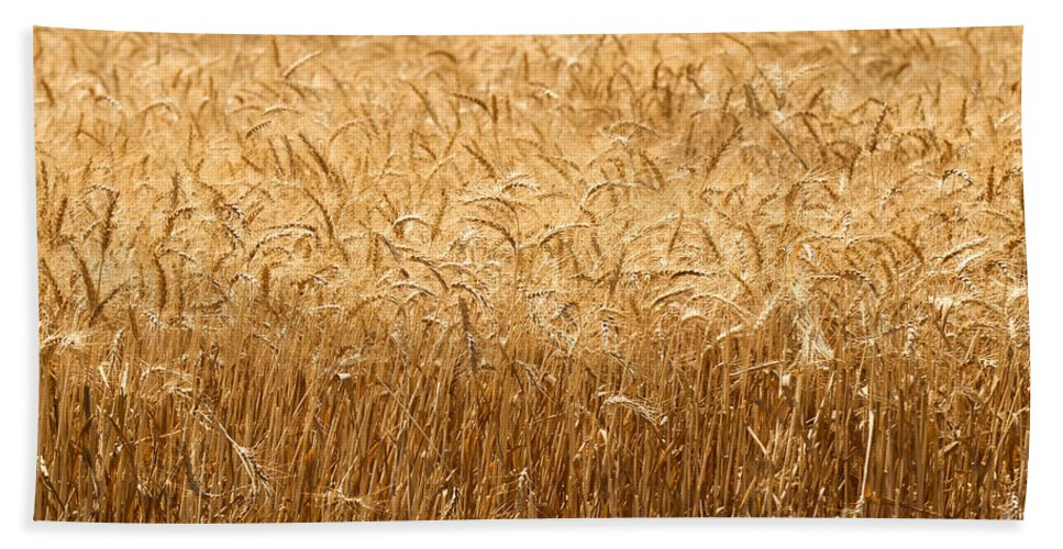 Wheat Bath Sheet featuring the photograph Wheat Field Ready For Harvest by Shay Fogelman