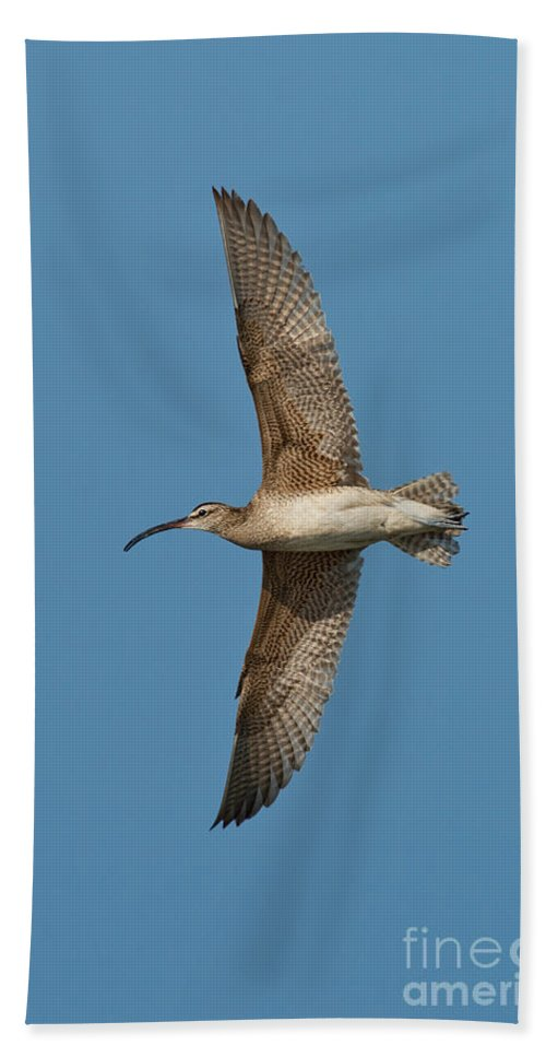Fauna Hand Towel featuring the photograph Whimbrel In Flight by Anthony Mercieca
