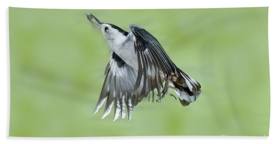 White-breasted Nuthatch Hand Towel featuring the photograph White-breasted Nuthatch Flying With Food by Anthony Mercieca