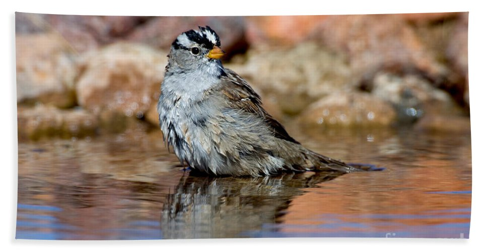 Fauna Hand Towel featuring the photograph White-crowned Sparrow Bathing by Anthony Mercieca