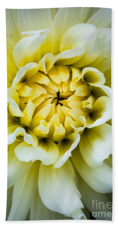 America Bath Sheet featuring the photograph White Dahlia by Inge Johnsson