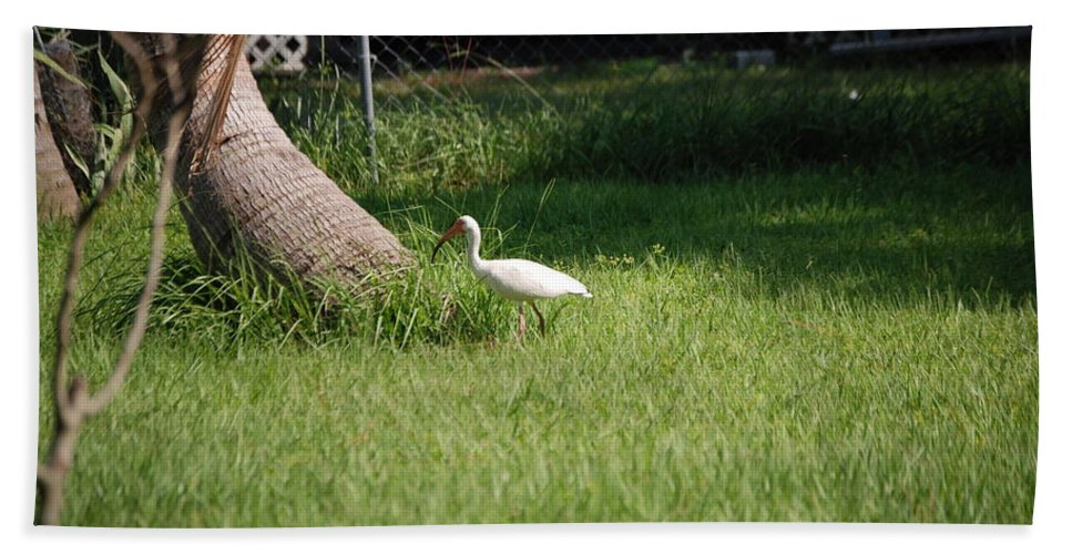 Checking Out My Backyard Hand Towel featuring the photograph White Ibis by Robert Floyd
