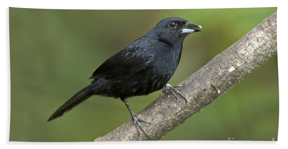 Animal Hand Towel featuring the photograph White-lined Tanager by Anthony Mercieca