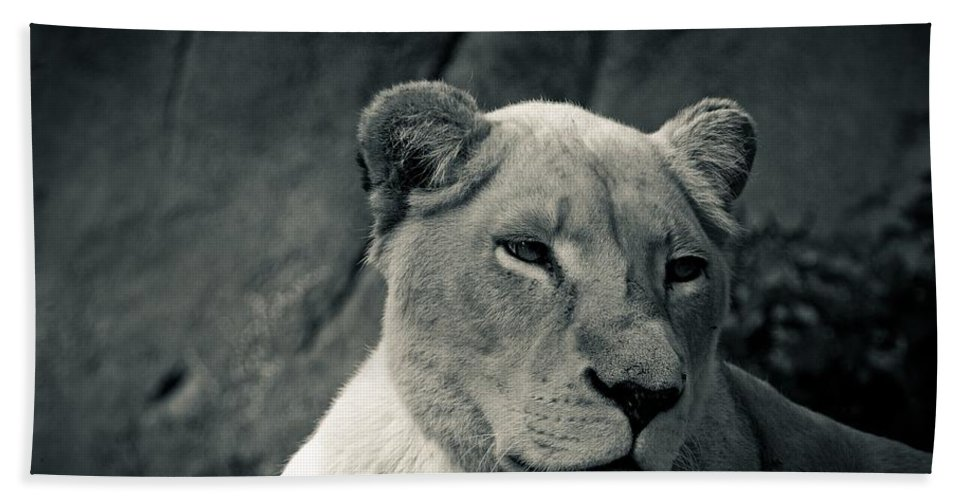 White Bath Sheet featuring the photograph White Lioness by Brothers Beerens